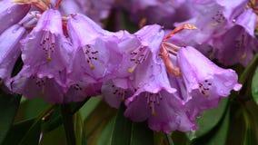 gruppen blommar rhododendron arkivbild