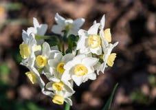 Gruppen-Blumenstrauß von weißen Narzissen Lizenzfreie Stockbilder