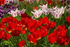 Gruppen der bunten Tulpen im Park Stockfoto