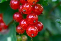 Gruppen der roten Johannisbeere auf einer Niederlassung Beeren im Hausgarten nützliche natürliche Vitamine Lizenzfreie Stockbilder