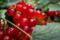 Gruppen der roten Johannisbeere auf einer Niederlassung Beeren im Hausgarten nützliche natürliche Vitamine Lizenzfreie Stockfotos
