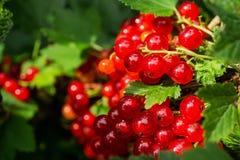 Gruppen der roten Johannisbeere auf einer Niederlassung Beeren im Hausgarten nützliche natürliche Vitamine Stockfotos