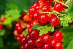 Gruppen der roten Johannisbeere auf einer Niederlassung Beeren im Hausgarten nützliche natürliche Vitamine Lizenzfreies Stockfoto