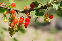 Gruppen der roten Johannisbeere auf einer Niederlassung in einem Sommer arbeiten im Garten Lizenzfreie Stockfotografie