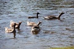 Gruppen der weißen konfrontierten Gansschwimmens in einem See Lizenzfreies Stockfoto
