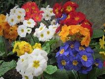 Gruppen des bunten Blumen-Blühens schön stockfotografie