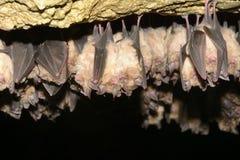 Gruppen des Schlafens schlägt in der Höhle - wenig blythii Myotis des großen Mausohrs und Rhinolophus-Hipposideros - Lesser Horse lizenzfreie stockbilder