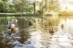 Gruppen Enten auf See lizenzfreies stockfoto