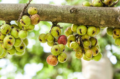 Gruppen-Feige auf Baum (Ficus racemosa Linn.) Lizenzfreie Stockbilder