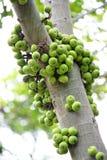 Gruppen-Feige auf Baum Ficus racemosa Linn Lizenzfreies Stockfoto