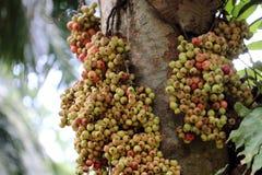 Gruppen-Feige u. x28; Ficus racemosa Linn& x29; auf Baum Lizenzfreie Stockfotos