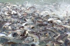 Gruppen Fische im Fluss vor Tempel in Thailand Lizenzfreie Stockbilder