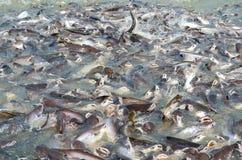 Gruppen Fische im Fluss vor Tempel in Thailand Stockfotografie