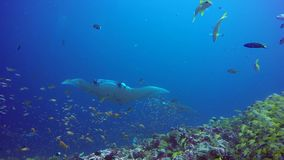 Gruppen-Mantarochen entspannen sich in gestreiftem Rotbarschschulfischmeeresgrund im klaren blauen Wasser stock video footage