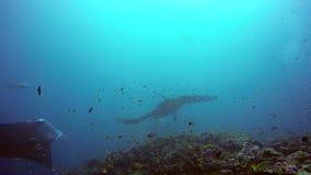 Gruppen-Mantarochen entspannen sich in gestreiftem Rotbarschschulfischmeeresgrund im klaren blauen Wasser stock video