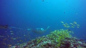 Gruppen-Mantarochen entspannen sich in gestreiftem Rotbarschschulfischmeeresgrund im klaren blauen Wasser stock footage