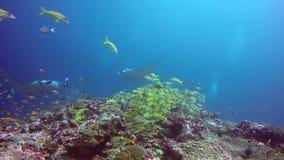 Gruppen-Mantarochen entspannen sich unter Wasser in gestreiften Rotbarschschulfischen im Ozean stock video footage