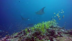 Gruppen-Mantarochen entspannen sich unter Wasser in gestreiften Rotbarschschulfischen im Ozean stock video