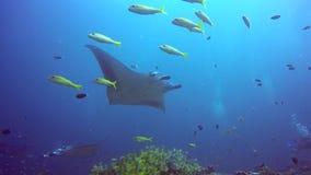 Gruppen-Mantarochen entspannen sich unter Wasser in gestreiften Rotbarschschulfischen im Ozean stock footage