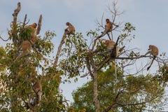 Gruppen-niederländischer Affe, der auf einem Baum unter den Blättern Kumai, I sitzt Lizenzfreie Stockbilder