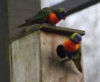 Gruppen-Regenbogen lorikeet Stockfoto