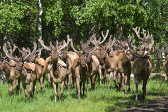 Gruppen-Rotwild im Wald. Bighorn-Berg maral stockbild