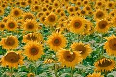 Gruppen-Sonnenblumen lizenzfreie stockfotos