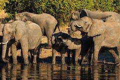 Gruppen- und Babyelefant, der Chobe Afrika trinkt Lizenzfreie Stockfotos