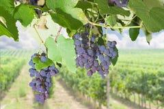 Gruppen von blauen Trauben auf einer Rebe gegen Weinberg Stockfoto