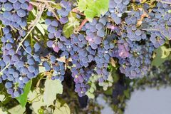 Gruppen von den blauen Trauben, die an einer Rebe hängen Stockfoto