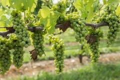 Gruppen von grünen weißen Trauben auf Rebe Stockbilder