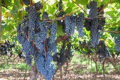 Gruppen von Trauben mit Blättern im Weinberg lizenzfreie stockfotografie