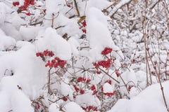 Gruppen von Viburnum auf einem Baum stark bedeckt mit Schnee stockfotografie