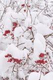 Gruppen von Viburnum auf einem Baum stark bedeckt mit Schnee lizenzfreie stockbilder