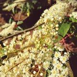 Gruppen von weißen Blumen im Lorbeer lizenzfreies stockfoto