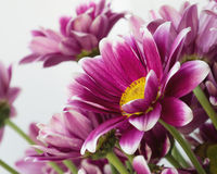Gruppenchrysantheme Lizenzfreie Stockfotos
