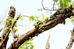 Gruppenfeige - Gular-Baum-Früchte stockbild