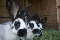 Gruppennette Schwarzweiss-Kaninchen mit Stellen stockbilder