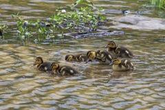 Grupper av ankungeankungar som tillsammans simmar Fotografering för Bildbyråer