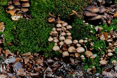 Grupper av bruna champinjoner på mossa i skog arkivfoto
