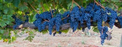 Grupper av Cabernet - sauvignon druvor på vinen Arkivbild