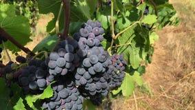 Grupper av den mörka mogna druvan som växer på vingården, brukar stock video
