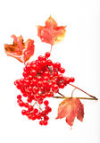 Grupper av den röda viburnumen på den vita backgronden Arkivbild