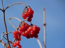 Grupper av den röda viburnumen, röda bär, Guelder steg Arkivfoto