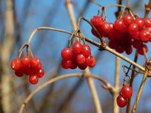 Grupper av den röda viburnumen, röda bär, Guelder steg Royaltyfria Bilder