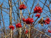 Grupper av den röda viburnumen, röda bär, Guelder steg Fotografering för Bildbyråer