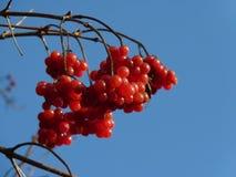 Grupper av den röda viburnumen, röda bär, Guelder steg Royaltyfri Bild