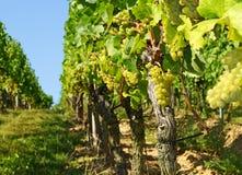 Grupper av druvor på vines Arkivbilder