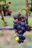 Grupper av druvor på vinrankan Arkivbild