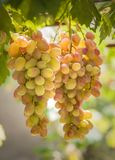 Grupper av druvor som växer på vinrankor royaltyfri foto